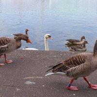 Гуси на берегу озера Альстер :: Nina Yudicheva