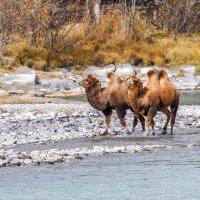 Верблюды на реке Аргут :: Галина Шепелева