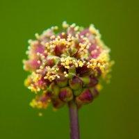 цветочек-шар :: Олеся Енина