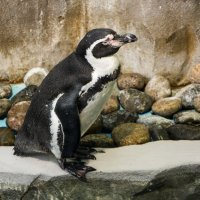 Пингвин :: Роман Скоморохов
