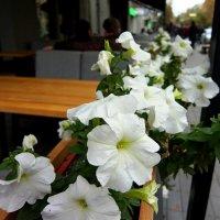 Белые цветы :: Наталья Тимошенко