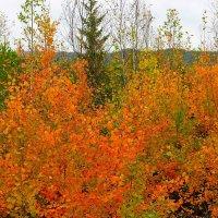 Красное золото осени :: Сергей Чиняев