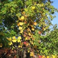 Золотые листья винограда :: Дмитрий Никитин