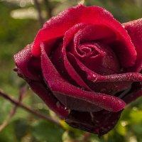 Утренняя роза :: Андрей