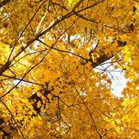 Рассыпала осень золото... :: Ирина Холодная