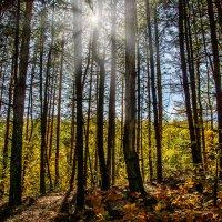 Осень в сосновом лесу :: Юрий Шапошник