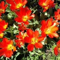 Тюльпаны :: kuta75 оля оля