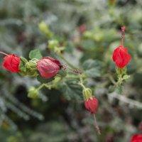 Цветы граната. :: Alla