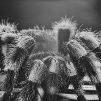 Theraphosidae :: Роман Шершнев