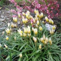 Тюльпан двухцветковый, или Калье :: Елена Гуляева (mashagulena)