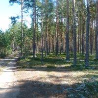 Лес в Сосоново :: Oleg