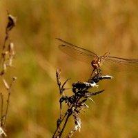 стрекозы сухой травы 1 :: Александр Прокудин