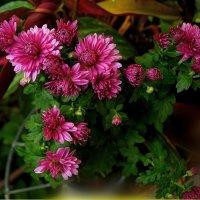 хризантемы в саду :: Александр Корчемный