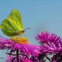Бабочка :: Олег Секержицкий