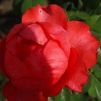 Сентябрьские розы...4 :: Тамара (st.tamara)