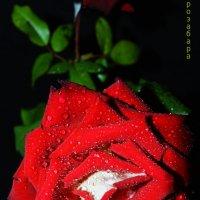 роза-чёрный фон :: Роза Бара