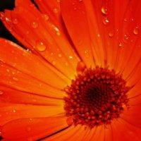 Цветок :: Шура Еремеева