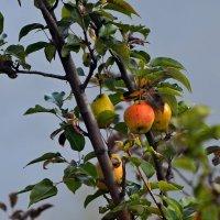 Вот и осень,урожай поспел. :: владимир