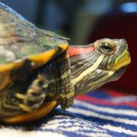 красноухий черепах Винт :: Galina Belugina