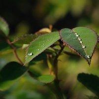 капли росы на листе розы :: Евгений Ромащенко