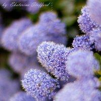 Сиреневые цветы :: Ekaterina Stafford