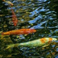 рыбки из пруда :: Александр Корчемный