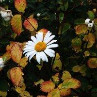 Осенняя ромашка :: Damir Si