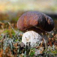 Белый гриб :: Илья Кочанов