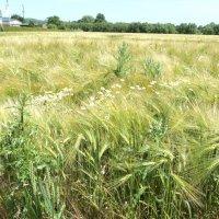 Пшеничная дымка :: kuta75 оля оля