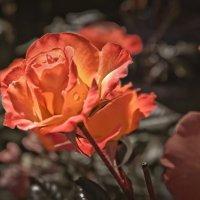 Розы :: Alexander Demetev