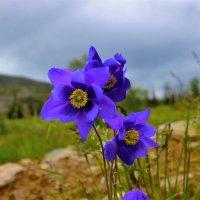 Цветут в горах аквилегии :: Сергей Чиняев