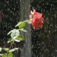 Эксперимент с розой днем :: Yulia Deimos