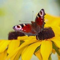 Бабочка на цветке :: И.В.К. ))