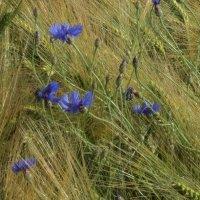 пшеничная ажурность :: kuta75 оля оля