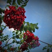 Красная рябина... :: Valentina