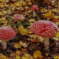 мухоморчики-грибочки вырастали у пенечков,  их здесь целая семья-не заметить их нельзя. :: Альмира Юсупова