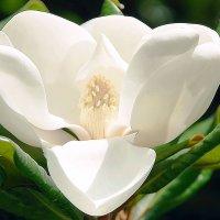 Magnolia Grandiflora :: Лариса Журавлева