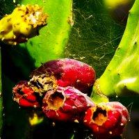 Из жизни кактусов :: Александр Липовецкий