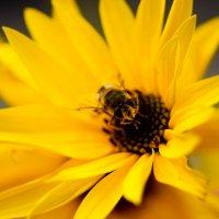 Пчелка :: vcherkun