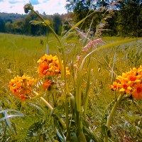 Полевые цветы :: Лариса Димитрова