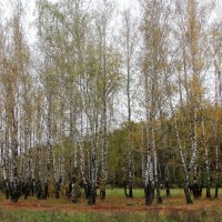 Берёзы в октябре. :: Борис Митрохин
