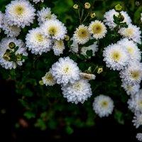цветы в моем саду. :: Валерий Гудков