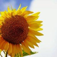 Солнечный цветок :: Кристина Громова