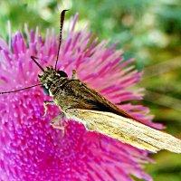 На чертополохе бабочка пирует! :: Наталья