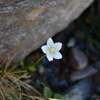 Горный цветочек :: Александр Шацких
