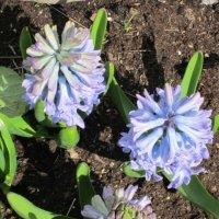 Голубые цветы :: Дмитрий Никитин