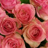 розы :: Августа