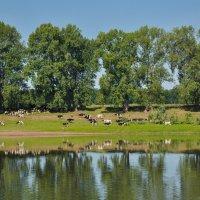 Стадо коров на берегу реки Белой :: Сергей Тагиров