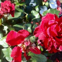 Октябрьские розы :: Нина Корешкова