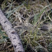 змея :: сергей агаев